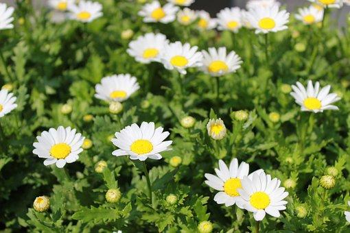 Flowers, Plants, White Flowers, Nature, A Flower Garden