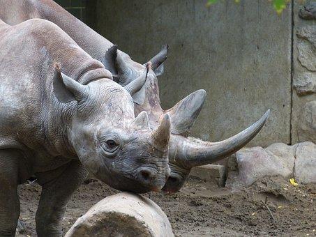 Zoo, Animal, Rhino, Mammal, Africa, Big Game, Pachyderm