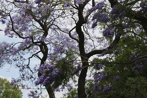 Tree, Jakaranda, Curvy, Winding Branches, Flowers