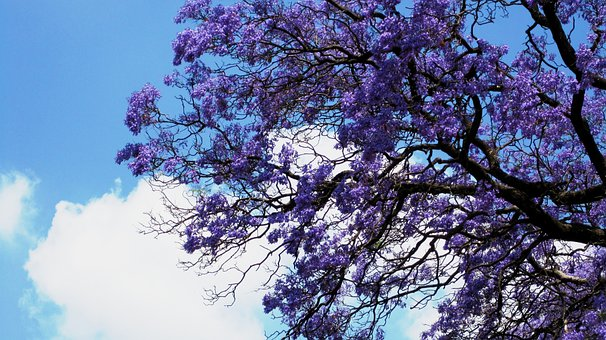 Flowers, Jakaranda, Purple, Clusters, Trumpet Shaped