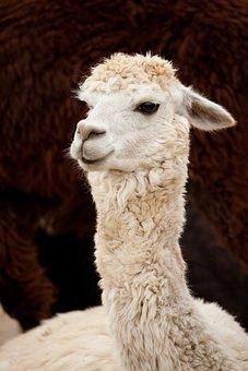 Alpaca, Animal, Single, Brown, White, Curly, Face