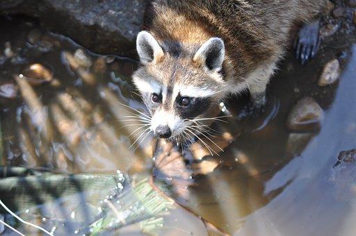 Raccoon, Common Raccoon, Procyon Lotor, Wild Animal