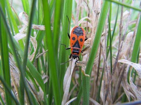 Firebug Pospolná, Wingless, Pyrrhocoris Apterus, Bug
