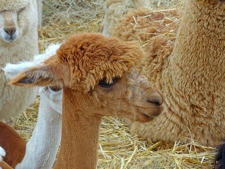 Lama, Kameltier, Straw, Farm, Zoo, Llama Wool, Fur