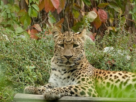 Leopard, Big Cat, Zoo, Animal, Wildlife, Mammal