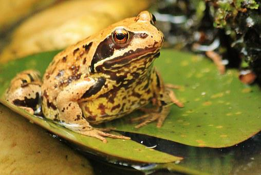 Frog, Frogs, Toad, Amphibian, Animal World, Animals