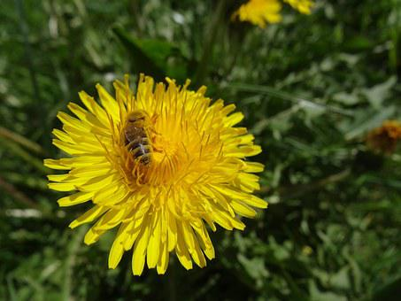 Dandelion, Bee, Honey Bee, Insect, Flower, Blossom