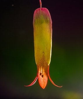 Goethe Plant, Blossom, Bloom, Kalanchoe Pinnata