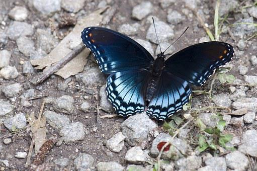 Butterfly, Insects, Nature, Black, Blue, Rocks