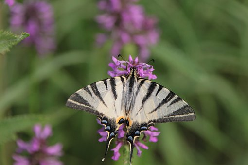 Blue, Butterfly, Flowers, Iphiclides, Podalirius