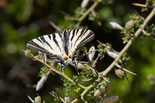 Butterfly, Heraclides Thoas Swallowtail, Insects