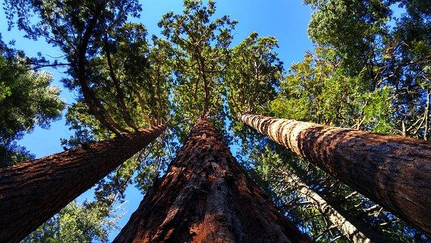 Giant Sequoia Grove Near Auburn, California, Trees