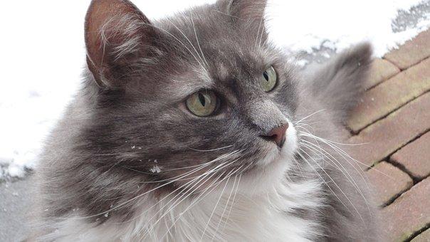 Cat, Ears, Pet, Animals, Fur, Domestic Cat, Cat Face