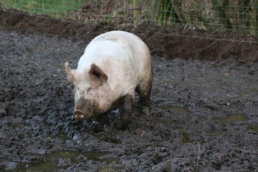 Domestic Pig, Pig, Mud, Dirt, Farm, Agriculture