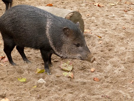 Pig, Zoo, Wildlife, Exotic, Animal, Domesticated