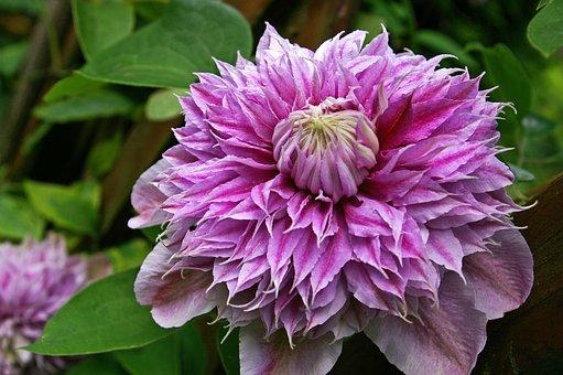 Clematis, Bloom, Flower, Pink, Ornamental Plant