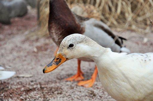 Duck, Low Court, Farm, Pets, Geese, Animals, Breeding