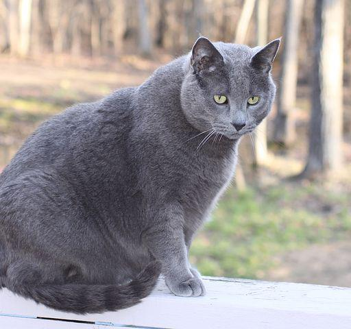 Cat, Pet, Domestic, Male, Large, Gray, Rescue, Outside