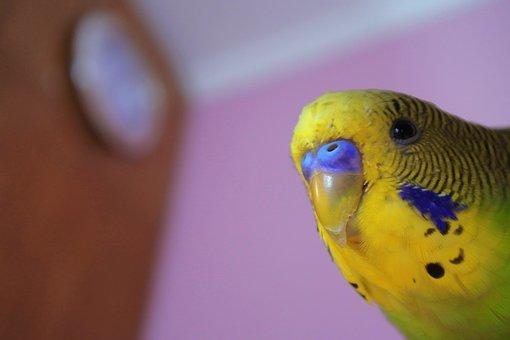 Parrot, Peeps, Bird, Pet, Multi Color, House