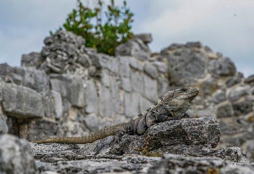 Iguanas, Lizards, El Ray, Mexican Ruins, Tropical
