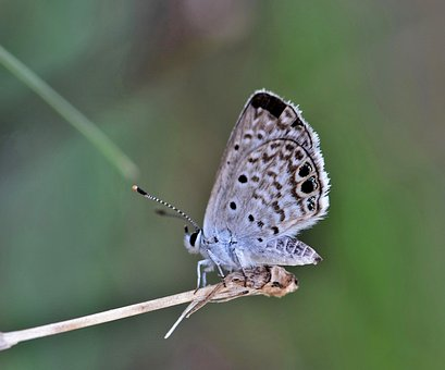 Butterfly, Ceraunus Blue, Insect, Flying Insect