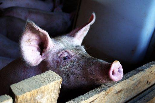 Pig, Stall, Livestock, Animal, Dirty, Pink, Piglet