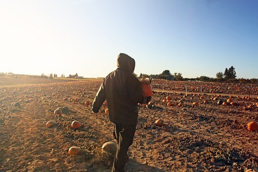 Man, Pumpkin, Patch, Selecting, Dusk, Halloween, Farm