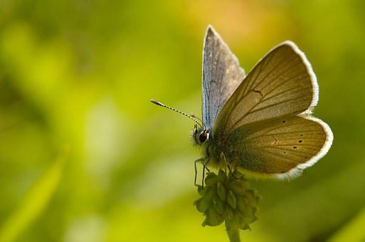 Mazarine Blue, Butterfly, Lepidoptera