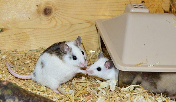 Mastomys, Mice, Nager, Rodents, Close, Society, Pets