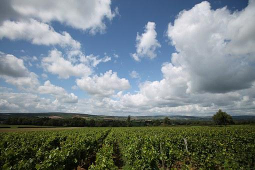 Summer, Wine, Vineyard, Nature, Vine, Winegrowing