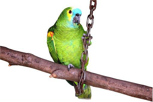 Parrot On White Background, Looking, Pet Bird, Zoo