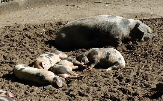 Bunte Bentheimer Pigs, Sow, Pigs, Piglet, Sleep