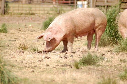 Pork, Farm, Animal, Country, Rural, Pig, Farming