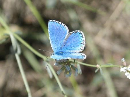 Pseudophilotes Panoptes, Butterfly, Blue Butterfly