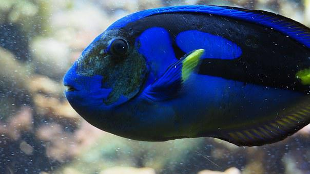 Blue Tang, Fish, Blue, Reef, Water, Aquarium