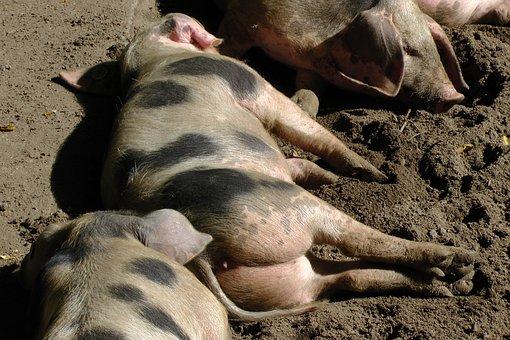 Bunte Bentheimer Pigs, Sow, Pigs, Sleep, Relaxed