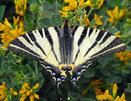 Scarce Swallowtail, Butterfly, Iphiclides Podalirius
