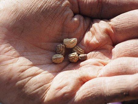 Seeds, Flower Seeds, See, Sowing, Nasturtium, Hand