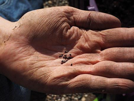 Seeds, Lavender Seeds, Flower Seeds, See, Sowing, Hand
