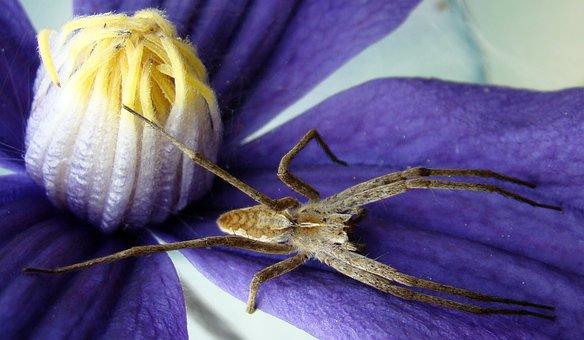 Spider, Insect, Rovspindel Pisaura Mirabilis, Arachnids