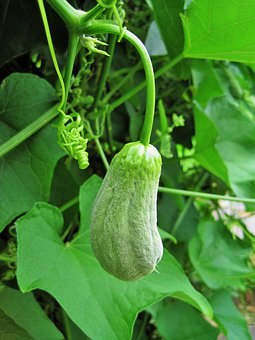 Squash, Fruit, Veg, Shu-shu, Green, Vegetable, Food