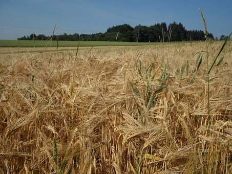 Cereals, Cornfield, Field, Barley, Agriculture, Summer