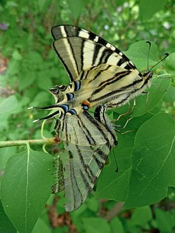 Swallowtail, Grand, Door, Tail, Butterfly, Nature