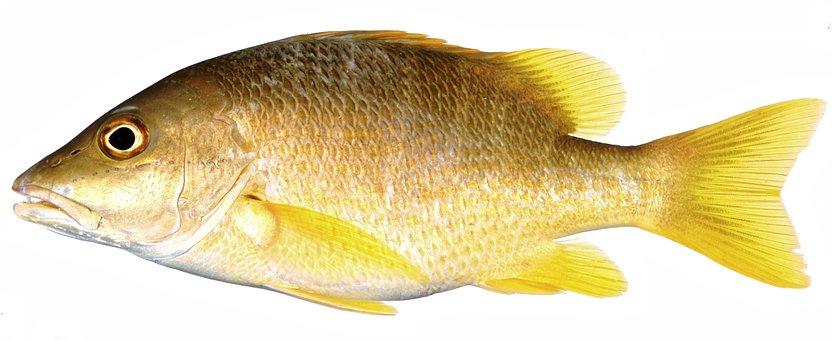 Yellow Fish, Snapper, Yellow Fin Fish, Fish, Yellow