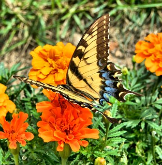 Butterfly, Insect, Old World, Swallowtail, Yellow