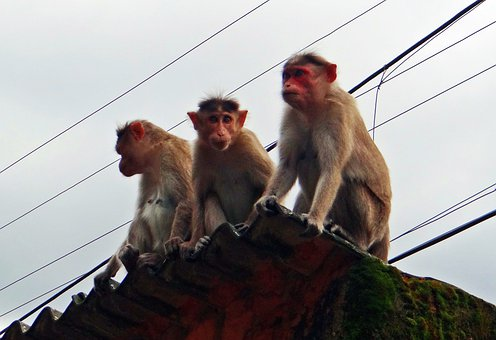Monkeys, Animal, Western Ghats, Bonnet Macaques, India