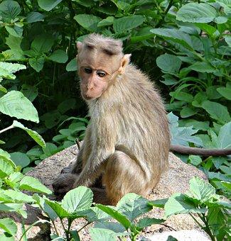 Bonnet Macaque, Macaca Radiata, Macaque, Monkey, Animal