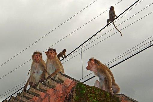 Monkeys, Rope Walk, Animal, Western Ghats