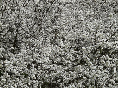 Blackthorn, Prunus Spinosa, Hedge, Schlehendorn