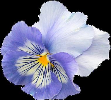 Pansy, Blue, Purple, Blossom, Bloom, Flower, Spring